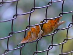 fall • catch (marianna armata) Tags: fall autumn leaf chainlinked fencehff friday mariannaarmata color wire bokeh macro