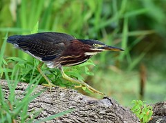 Green Heron (laurie.mccarty) Tags: greenheron wildlife pond green naturephotography nikon nikond810 nikon500mm butoridesvirescens bird animal