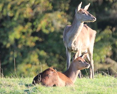 Not a care in the World (jdathebowler Thanks for 4.5 Million + views.) Tags: fallowdeer ruminant deer damadama speciesddama