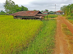 Rice Paddies in Chom Nang Nuea 6 (SierraSunrise) Tags: thailand phonphisai nongkhaiisaan esarn farming agriculture plants rice grain ricepaddies ricepaddy paddyrice shed road dirt unpaved