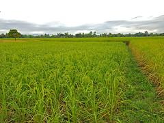 Rice Paddies in Chom Nang Nuea 1 (SierraSunrise) Tags: thailand phonphisai nongkhaiisaan esarn farming agriculture plants rice grain ricepaddies ricepaddy paddyrice