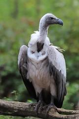 2019.10.25 Trier (114) (KHorst71) Tags: trier saarburg vögel greifvögel greifvogel vogel adler geier eule waschbär kauz