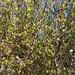 Bursera microphylla 03