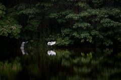 水鏡の上 #3ーOn a glassy surface of water #3 (kurumaebi) Tags: yamaguchi 秋穂 山口市 nikon d750 nature landscape birds 鳥 アオサギ サギ 反射 reflection