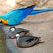 Brazil-01645 - Blue and Yellow Macaw &  White-cheeked Pintails