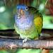 Brazil-01508 - Blue-headed Parrot