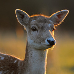 Fallow Doe at Sunrise (andy_AHG) Tags: wildlife autumn animals nikond300s yorkshire fallowdeer doe ruttingseason