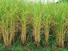 Rice Paddies in Chom Nang Nuea 4 (SierraSunrise) Tags: thailand phonphisai nongkhaiisaan esarn farming agriculture plants rice grain ricepaddies ricepaddy paddyrice