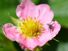 Strawberry Flower & Friends (suekelly52) Tags: strawberryflower flower diptera fly ant insect macro stamens