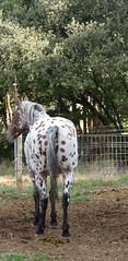 SANT MARTÍ DE SESSERRES - CAVALL (Joan Biarnés) Tags: santmartídesesserres cavall caballo 343 panasonicfz1000 cabanelles altempordà girona panasoicfz1000