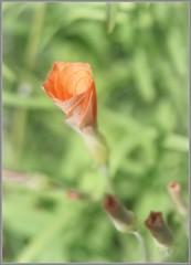 Orange oxalis (kerwitcherwoo) Tags: rhs rhswisley alpine oxalis orange greenhouse uk outdoors flowers leaves foliage petals buds lookingcloseonfriday macro ef25 extensiontube bokeh