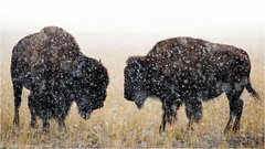 Winter is coming (Sandra Lipproß) Tags: bison buffalo wyoming grandtetonnationalpark usa outdoor wildlife snow bokeh snowflakes winter blizzard nature animal grandtetons prairie bosbison