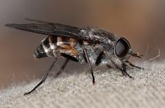Tabanidae (jeans_Photos) Tags: tabanidae marchfly canningmillsroad canningmills diptera taxonomy:order=diptera geo:country=australia geo:state=westernaustralia geo:lat=32077122 geo:lon=116093145 black brown