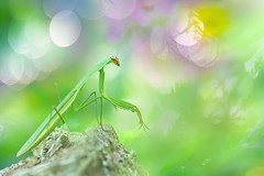 Mantids | 大螳螂 (Fu-yi) Tags: 昆蟲 螳螂科 taiwan morning formosan wildlife animal nature closeup nobody spring colorful green greenbackground halo aura dreamy art macro insect hexapod field isolated lonely single macromondays sony honglushishan 福爾摩沙 台灣 烘爐地 春天 光環 自然 單一 野生 微距 elitegalleryaoi bestcapturesaoi aoi
