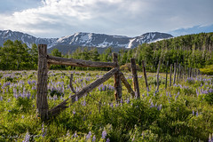 HFF on the Last Dollar Road (repete7) Tags: placerville colorado unitedstatesofamerica lastdollarroad flowers fence barbedwirefence mountains lupines canon 6d mark ii canon6dmarkii canon24105l hff