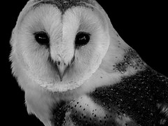 THE BARN OWL (eliewolfphotography) Tags: owl owls barnowl raptors raptor birds bird bnw bw animals blackandwhite nature naturelovers nikon naturephotography natgeo naturephotographer natgeowild wildlife wildlifephotographer