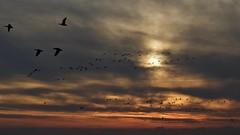 Home to Roost (@WineAlchemy1) Tags: sundown sunset autumn martinmere wildlifeandwetlandstrust wwt burscough lancashire pinkfootedgeese birds turneresque