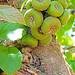 DSC01472 - Wild Fig Tree