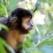 Argentina-01438 - Capuchin Monkey