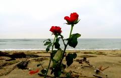 IMG_0001j (gzammarchi) Tags: specialexbarbara italia paesaggio natura mare ravenna lidoadriano fiore rosa coppia poesia haiku colore rosso
