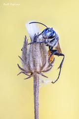 Prionyx kirbii (Raul Espino) Tags: 2019 canon100mml canon6dmarkii heliconfbtube macro macrofotografia natural naturaleza sevilla avispaexcavadoraprionyxkirbii insectos