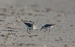 Sanderlings on the hunt for a quick meal (kevpkelly) Tags: sanderlings birds birding mammals animals beach water shore summer sand nature outdoors outside canon rebel 500ml