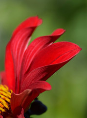 Red Petals (MJ Harbey) Tags: flower petals redpetals dahlia eudicot astderid asteraceae helianthodae canonsashby northamptonshire nationaltrust nikon d3300 nikond3300
