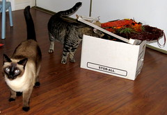 Anything to eat or play with  in here? (diffuse) Tags: halloween cats sumo kiki siamese supplies seasonal curiosity inquisitive box