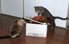 Surprise sister? Will jump on the lid! (diffuse) Tags: halloween cats sumo kiki siamese supplies seasonal curiosity inquisitive box