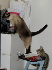 See anything good to eat? (diffuse) Tags: halloween cats sumo kiki siamese curiosity inquisitive candy treats
