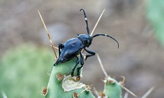 Cactus longhorn beetle (Gabioevi) Tags: arizona käfer beetle insekt longhorn