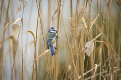Blue tit in the wind (1/2) (Franck Zumella) Tags: blue bleue tit mesange great oiseau bird nature wildlife sauvage vie wood bois forest foret forêt green vert yellow jaune black noir animal sony a7s a7 tamron 150600