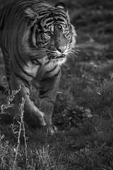 "Tiger aus dem Zoo Osnabrück in s/w <a style=""margin-left:10px; font-size:0.8em;"" href=""http://www.flickr.com/photos/78890415@N06/48995158896/"" target=""_blank"">@flickr</a>"