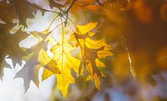 Sunshine through leaves (Dhina A) Tags: sony a7rii ilce7rm2 a7r2 a7r tamron sp 350mm f56 tamronsp350mmf56 prime ad2 adaptall2 mirrorlens 06b catadioptric reflex cf tele macro manualfocus bokeh lens sunshine through leaves