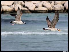 Goeland (boblecram) Tags: goeland oiseau bird
