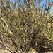 Bursera microphylla 05