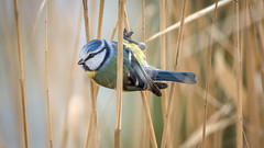 Blue tit in the wind (2/2) (Franck Zumella) Tags: blue bleue tit mesange great oiseau bird nature wildlife sauvage vie wood bois forest foret forêt green vert yellow jaune black noir animal sony a7s a7 tamron 150600