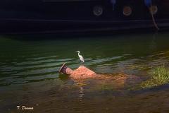 Garza en el Nilo (T. Dosuna) Tags: garza ríonilo orillasdeluxoregipto fotografíadepaisaje landscape tdosuna nikon d7100