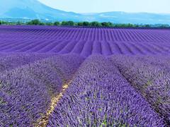 P1120947 (alainazer) Tags: valensole provence france fiori fleurs flowers fields champs ciel cielo sky colori colors couleurs lavande lavanda lavender