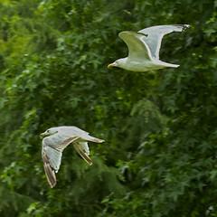 Gull Flight (MrBlueSky* Back In The New Year) Tags: seagull gull bird animal nature wildlife outdoor colour kewgardens royalbotanicgardens london pentax pentaxart pentaxlife pentaxawards pentaxflickraward pentaxk1mkii aficionados