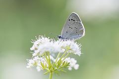 Glaucopsyche melanops (jojesari) Tags: glaucopsychemelanops mariposa butterfly volvoreta macro licenido jojesari suso closeup