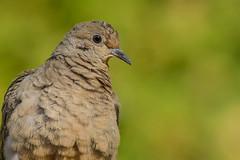 Tourterelle triste/Mourning dove (jean-francoislavallée) Tags: oiseau bird aves tourterelletriste mourningdove nature wildlife quebec canada nikon sigma automne fall