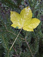 Maple leaf, Risweg, Oberleimbach, Canton of Zürich, Switzerland (rickwarner) Tags: balderan switzerland cantonofzürich adliswil felsenegg fog