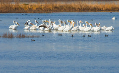 A Scoop of Pelicans (wyojones) Tags: california tularecounty marsh pixleywildliferefuge wasco upland dikes impounds plants water sanjoaquinvalley freshwaterlake pelican americanwhitepelican pelecanuserythrorhynchos fulicaamericana americancoot coot