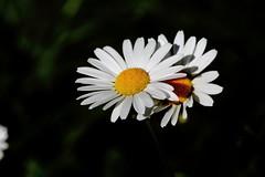 Marguerite IMG_0484 (Paul_Paradis) Tags: blossom fleur flora floral flower garden jardin plant plante nature natural marguerite daisy ete summer brillant macro canada quebec iledorleans