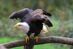 2019.10.25 Trier (224) (KHorst71) Tags: trier saarburg vögel greifvögel greifvogel vogel adler geier eule waschbär kauz