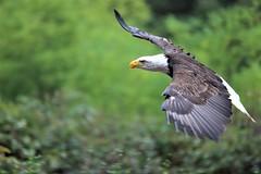 2019.10.25 Trier (300) (KHorst71) Tags: trier saarburg vögel greifvögel greifvogel vogel adler geier eule waschbär kauz
