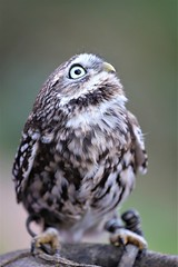 2019.10.25 Trier (373) Einstein (KHorst71) Tags: trier saarburg vögel greifvögel greifvogel vogel adler geier eule waschbär kauz