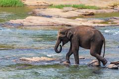 Elephas maximus maximus (Arturo Nahum) Tags: arturonahum elephant srilankanelephant srilankanelephantelephasmaximusmaximus srilanka river pinawala nature naturephotography animal mammal