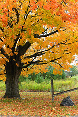 Glory of Branches (Anthony Mark Images) Tags: countryside gravelroad farm fence rock reflector fallenleaves lightrain wettree orangeleaves yellowleaves greenleaves glory gloryofthebranches pretty beautiful fall changingleaves coloursoffall canada ontario orange yellow kawarthalakes pinetrees mapletree autumn nikon d850 flickrclickx